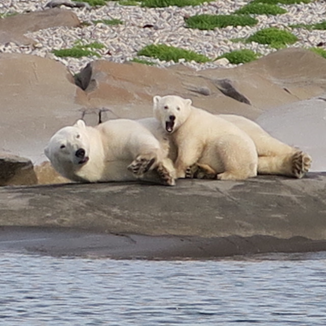 """Polar bear and cub"" stock image"