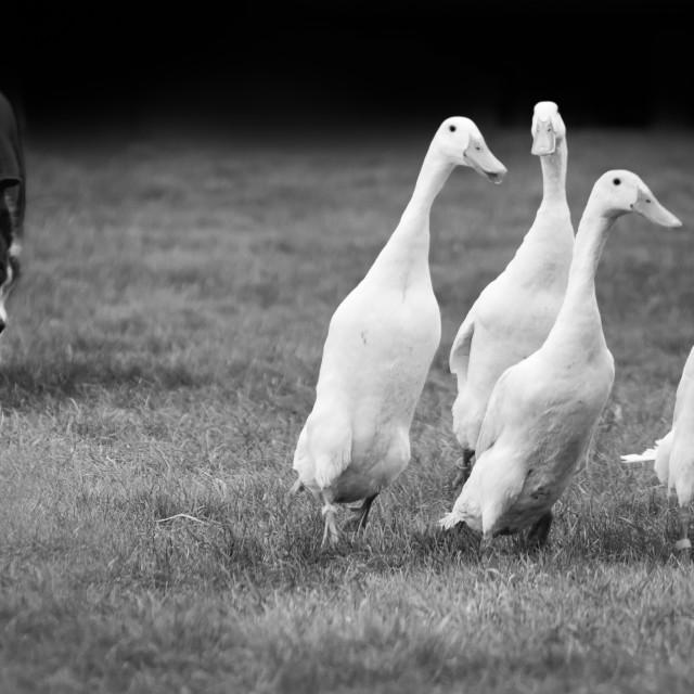 """Herding Ducks"" stock image"