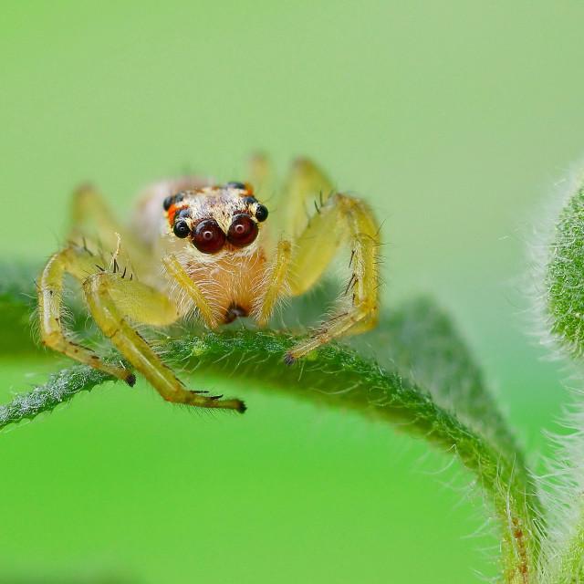 """Salticidae spider"" stock image"