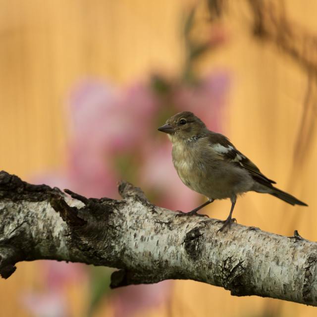 """Young Chaffinch (Fringilla coelebs) perching in the morning ligh"" stock image"