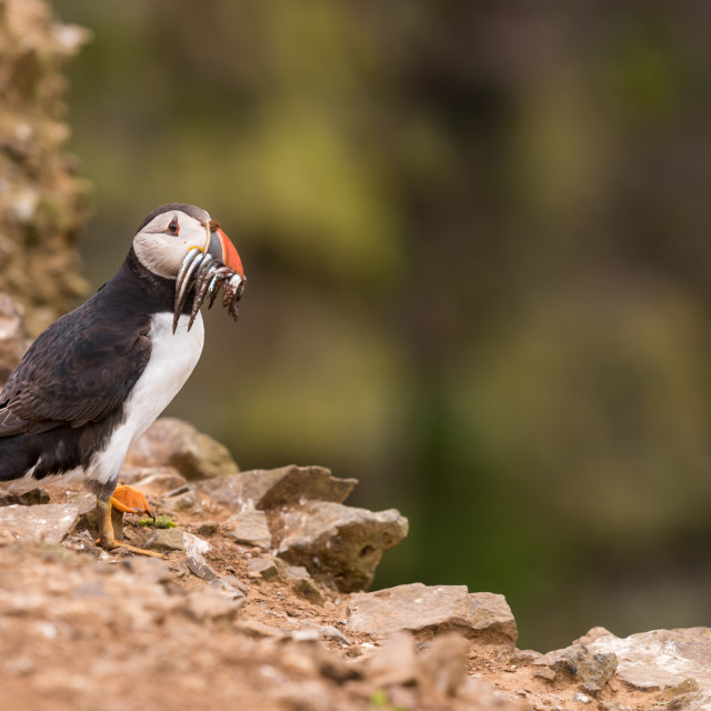 """A puffin with a mouthful of eels in its beak."" stock image"