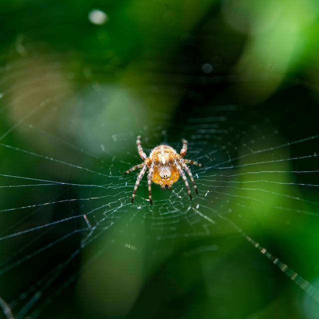 """Garden spider on it's web"" stock image"