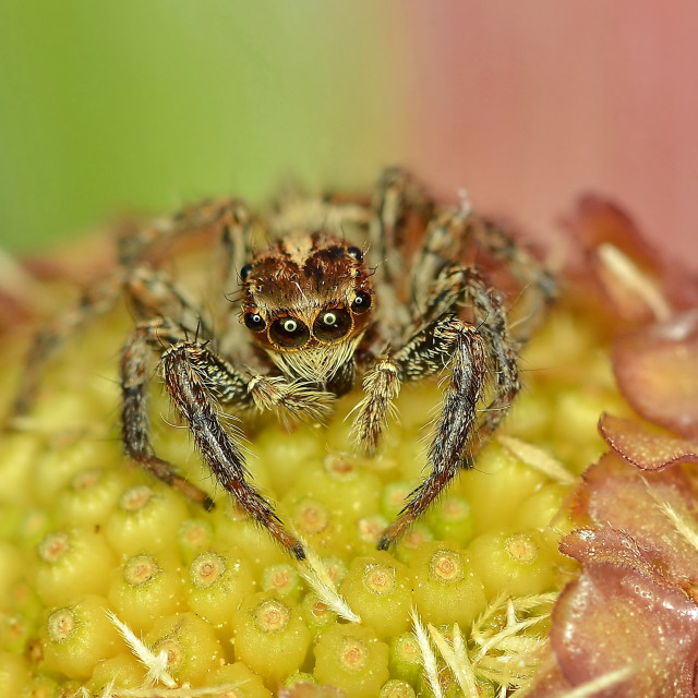 """""""Smiley face spider"""" stock image"""