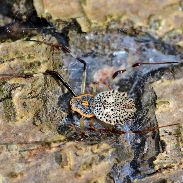"""""""Tree trunk spider"""" stock image"""