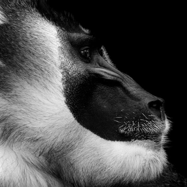 """Drill monkey"" stock image"