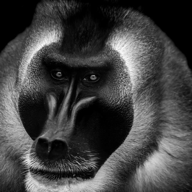 """Drill monkey."" stock image"