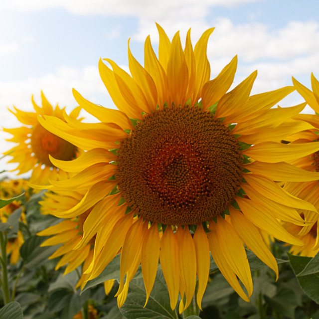 """Sunflowers on Sunny Day"" stock image"