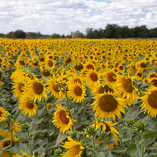 """Sunflowers on a Sunny Day"" stock image"