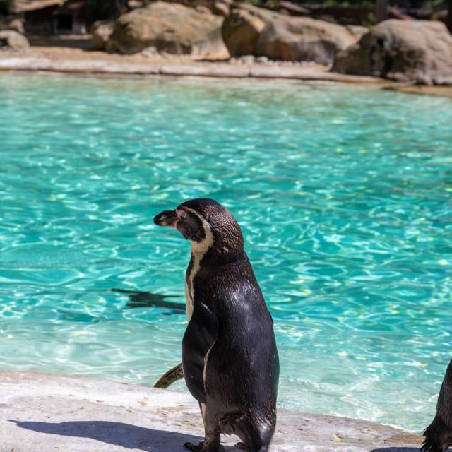 """Humboldt Penguins"" stock image"