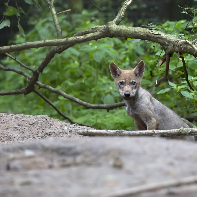 """""""Young Wolf in the forest"""" stock image"""