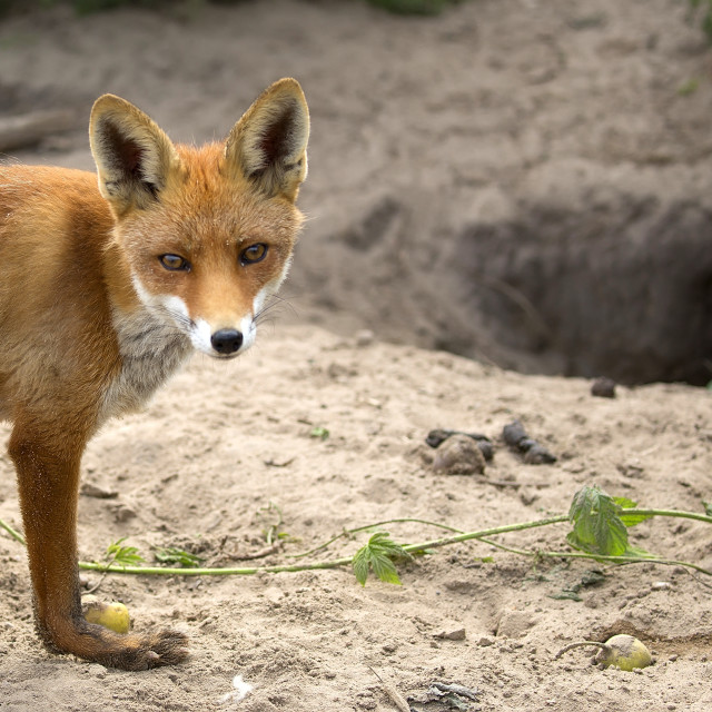 """""""Fox in a clearing, a portrait"""" stock image"""