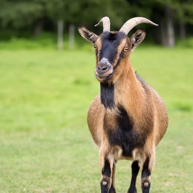 """Goat in a clearing"" stock image"