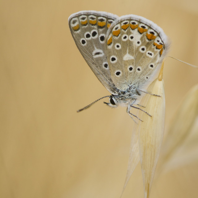 """""""Common blue, Polyommatus icarus, Southern Blue, butterfly, Malaga, Spain."""" stock image"""
