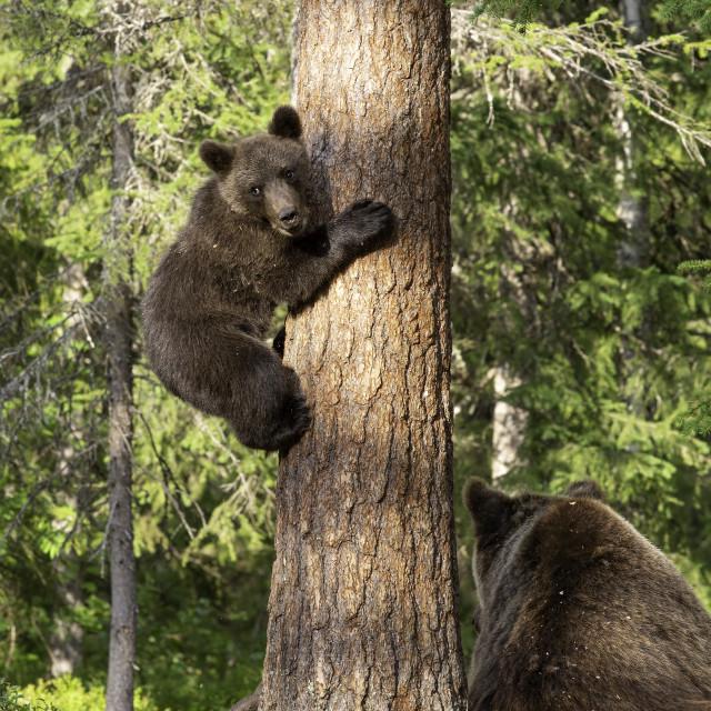 """""""Bear cub up a tree"""" stock image"""