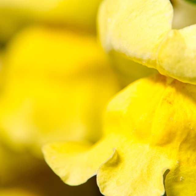 """Antirrhinum or snapdragon flower"" stock image"