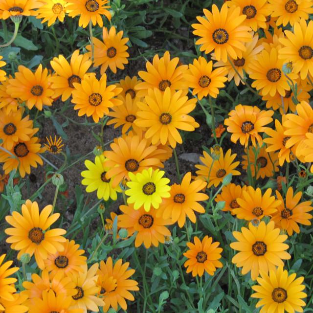"""Namaqualand Daisy - Orange with a yellow one!"" stock image"