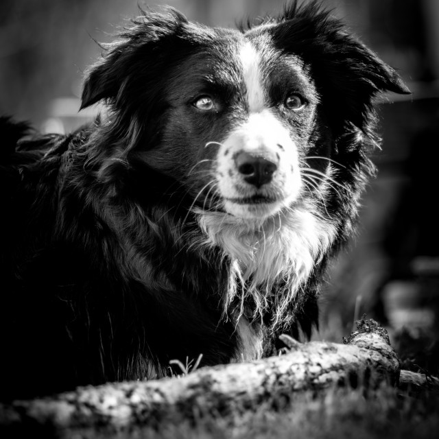 """Collie"" stock image"