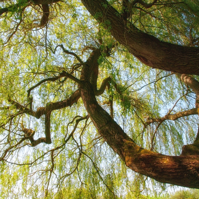 """Willow tree"" stock image"