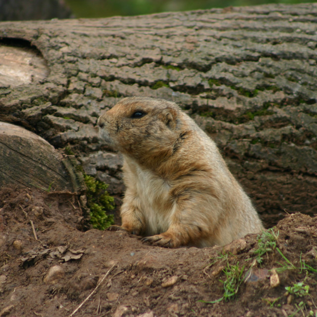 """Prairie Dog looking to its right"" stock image"