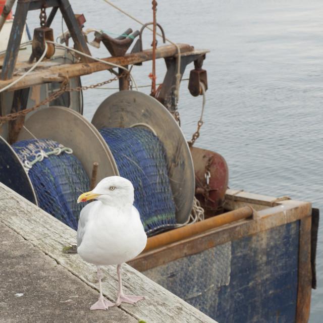 """""""Herring Gull Scotland"""" stock image"""