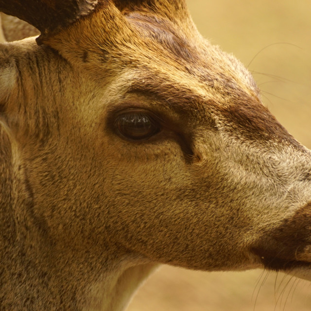 """Spotted deer potrait"" stock image"