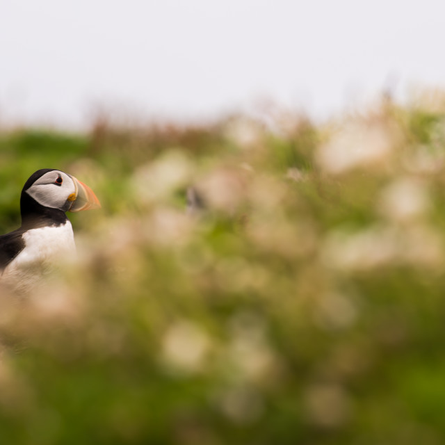 """A puffin surrounded by vegetation"" stock image"