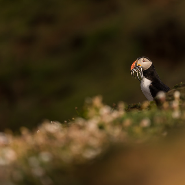 """A puffin amongst vegetation/foliage"" stock image"