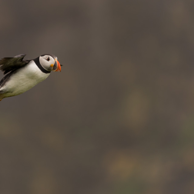 """A puffin in flight"" stock image"