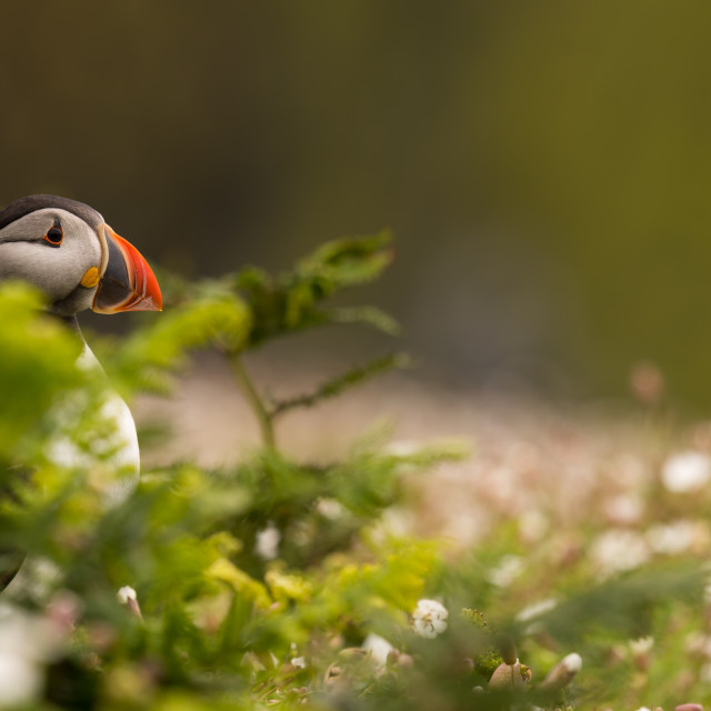 """A puffin surrounded by vegetation / foliage"" stock image"
