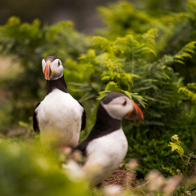 """two puffins surrounded by vegetation / foliage"" stock image"
