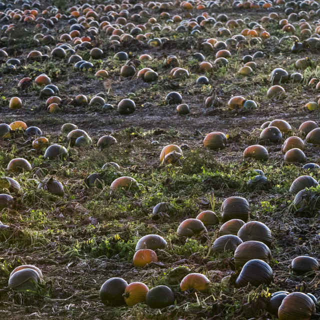 """Large pumpkin patch, Vermont"" stock image"