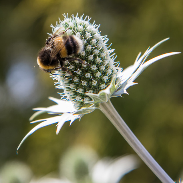 """Bees on Eryngium"" stock image"