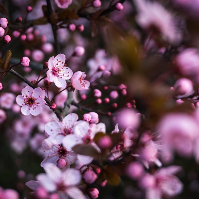 """Cherry blossoms blooming in spring"" stock image"