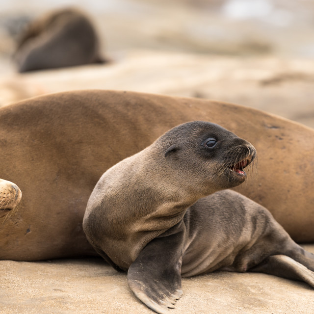 """Sea Lion Pup and Mom"" stock image"