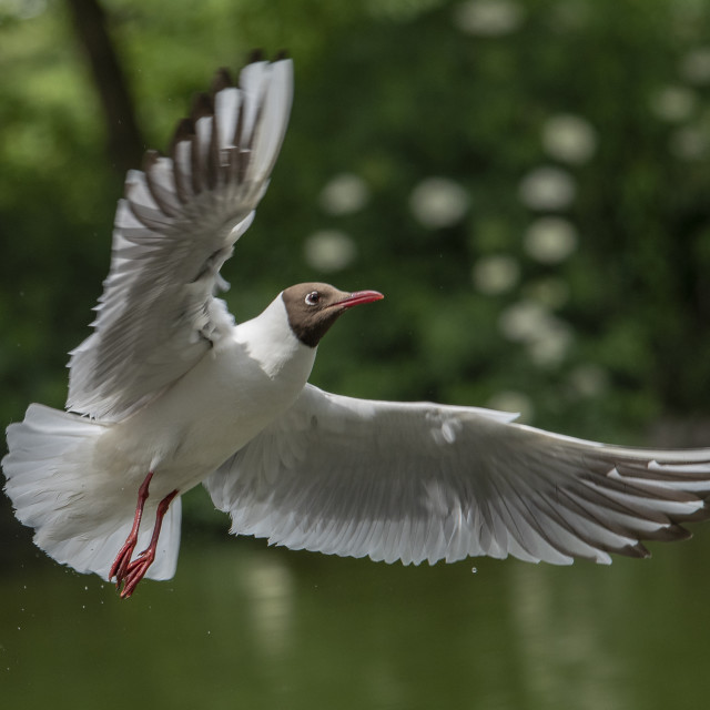 """Black Headed Gull (II)"" stock image"