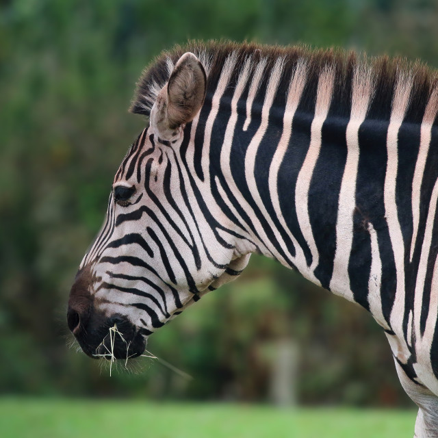 """""""Zebra from the side"""" stock image"""