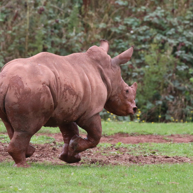 """Young Rhinoceros running"" stock image"