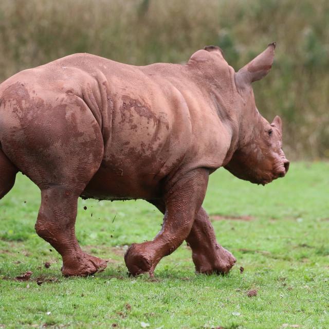 """Young Rhinoceros running"" stock image"