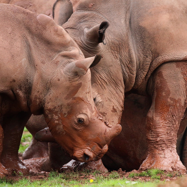 """Rhinoceros animals together"" stock image"