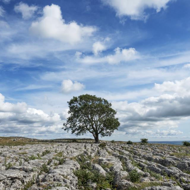 """Lone Tree at Malham"" stock image"