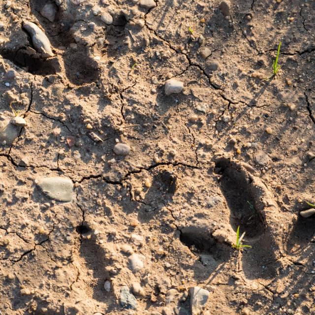 """Great Bustard Footprints"" stock image"