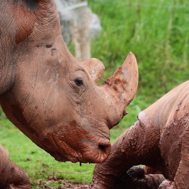 """A Rhinoceros group"" stock image"