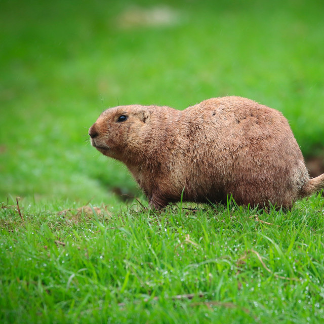 """""""Prairie Dog looking on grass"""" stock image"""
