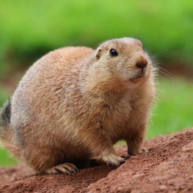 """Prairie Dog looking forward"" stock image"