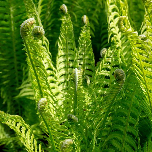 """Green Ferns"" stock image"