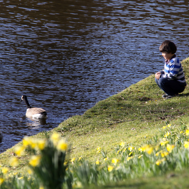"""""""Pensive - a boy and Canadian Geese"""" stock image"""