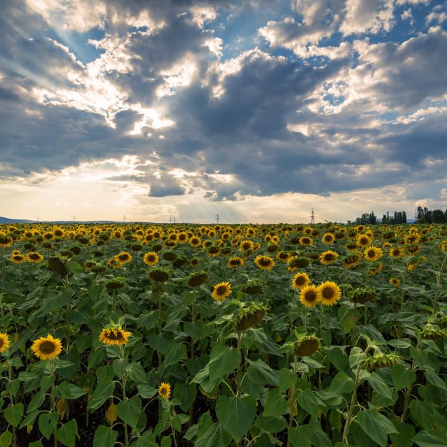 """Sunflower field at sunset."" stock image"