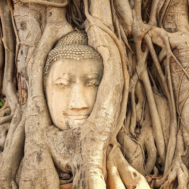 """Head of Buddha in Tree Roots at Wat Mahathat, Ayutthaya, Thailand"" stock image"