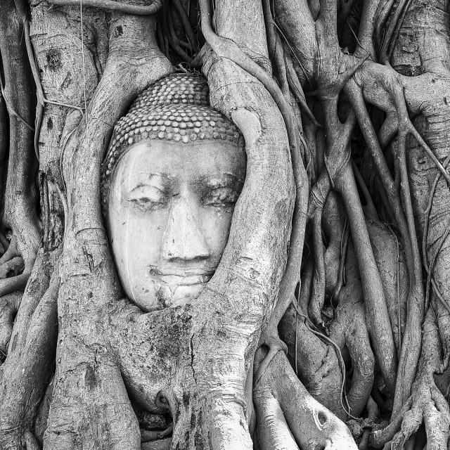 """Head of Buddha in Tree Roots at Wat Mahathat, Ayutthaya, Thailand, Black & White"" stock image"
