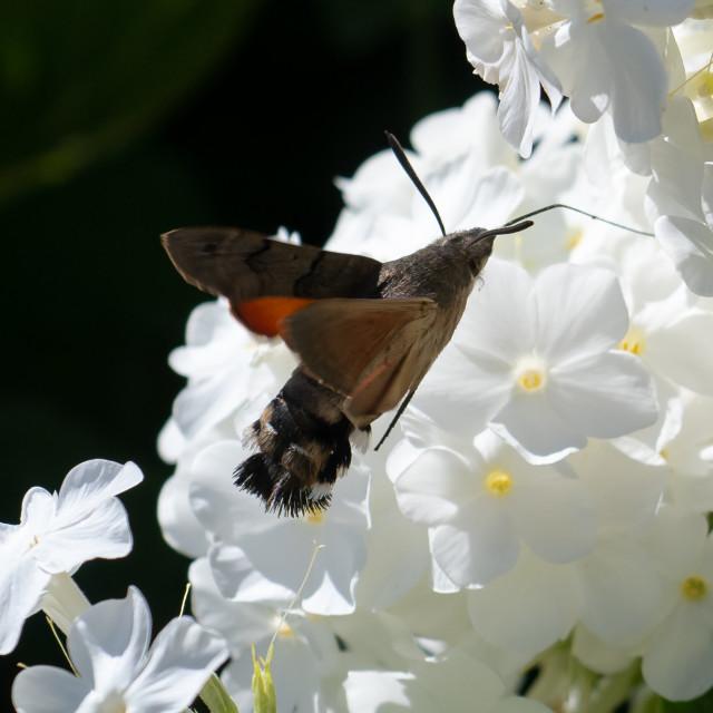 """Macroglossum stellatarum, Hummingbird hawk-moth hovering over a"" stock image"